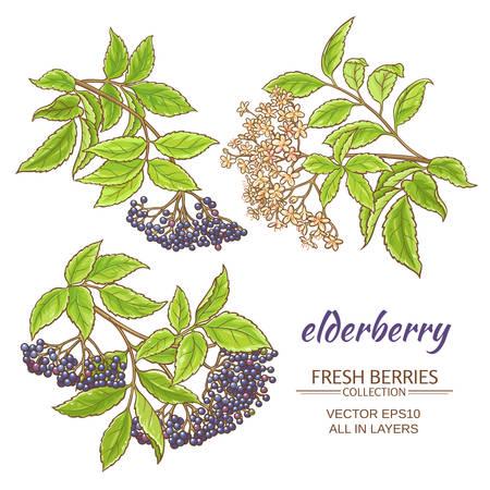 elderberry branches vector set on white background Vettoriali