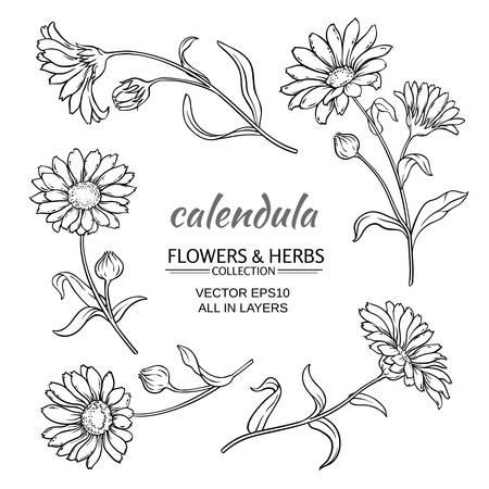 calendula flowers set on white background