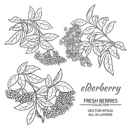 elderberry branches set on white background