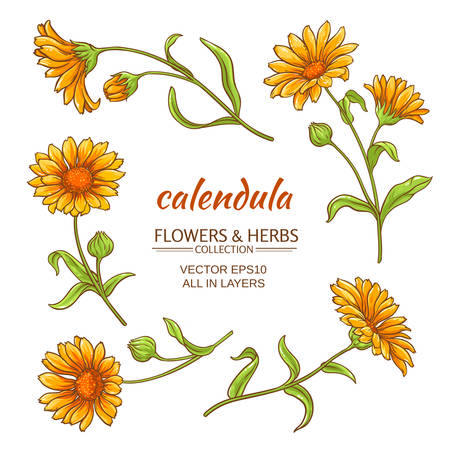 calendula: calendula flowers set on white background