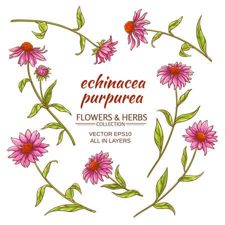 echinacea purpurea set on white background Illustration
