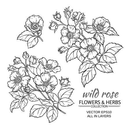 dog rose flowers set on white background