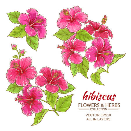 hibiscus flowers set on white background