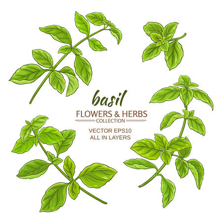basil: basil plant set on white background Illustration