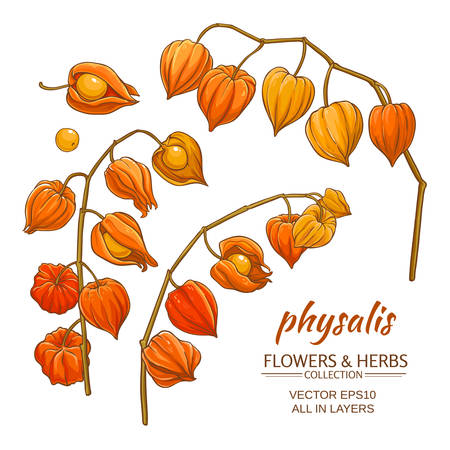phisalis: physalis branches set on white background