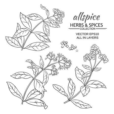allspice: allspice plant set on white background