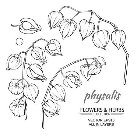 phisalis: physalis plant set on white background