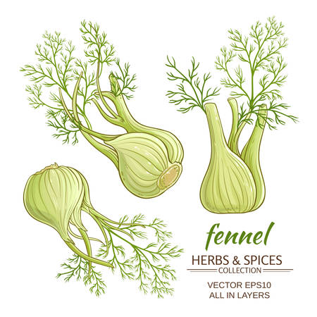 fennel roots vector set on white background