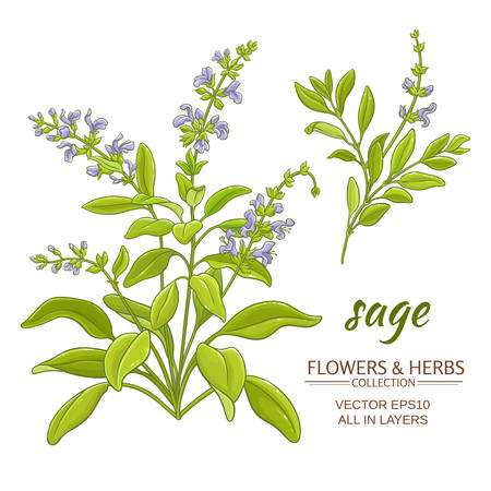 sage plant vector illustration on white background Ilustrace