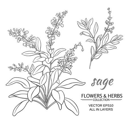 sage herb vector illustration on white background Ilustração
