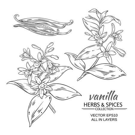 vanilla branches vector set on white background Illustration