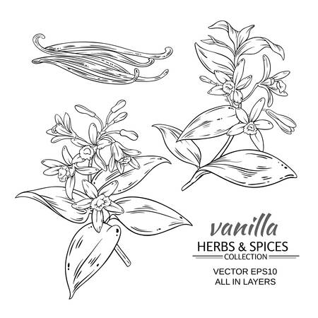 green bean: vanilla branches vector set on white background Illustration