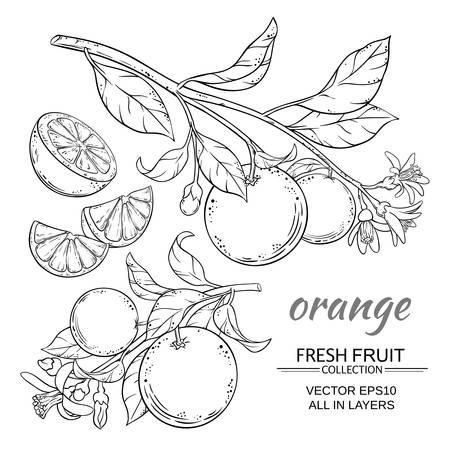 citrus tree: orange branches vector set on white background