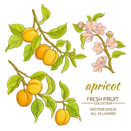 apricot branches vector set on white background