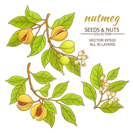 nutmeg branches vector set on white background