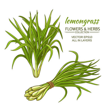 Lemongrass plant vector illustration on white background.