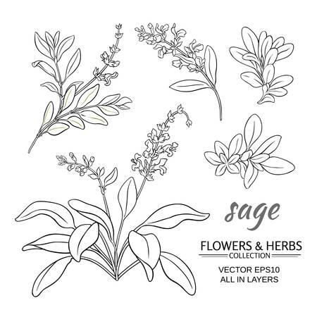 Sage plant vector set on white background