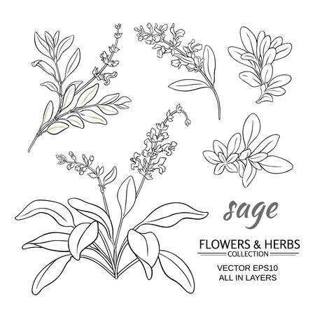 Sage plant vector set on white background