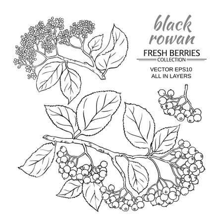 black rowan vector set on white background Stock Photo