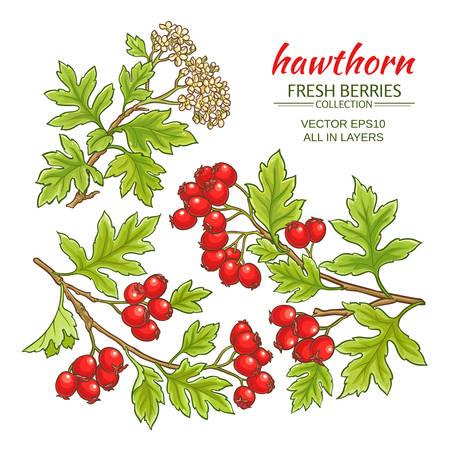 hawthorn branches vector set on white background Çizim
