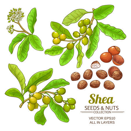 shea plant with seeds and nuts on white background Vector illustration set Çizim
