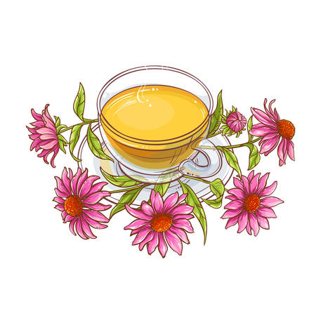 echinacea tea illustration Illustration