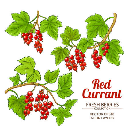 red currant plant vector
