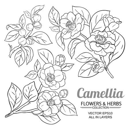 camellia vector set on white background Vectores