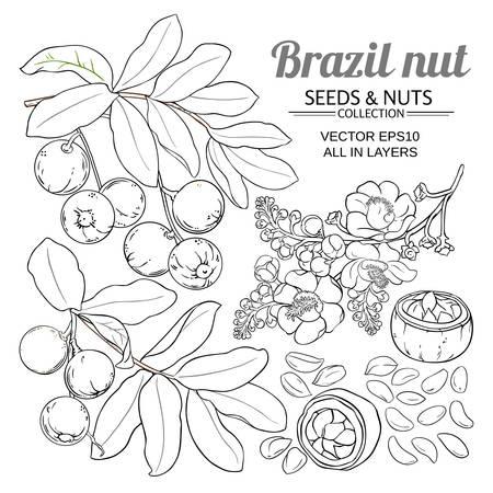 brazil nut vector set on white background