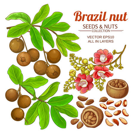 brazil nut vector set on white background