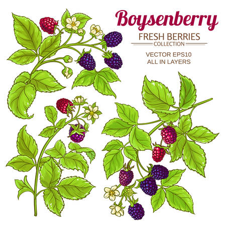 boysenberry vector set  イラスト・ベクター素材