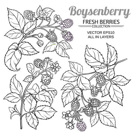 boysenberry vector set Иллюстрация
