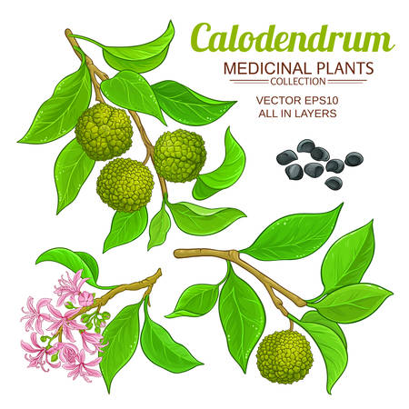 calodendrum vector set