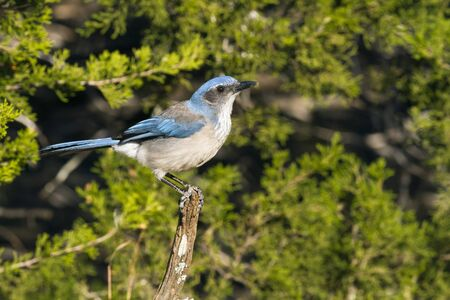 A Scrub Jay (Aphelocoma californica) perched on an old stump in the Texas Hill Country photo