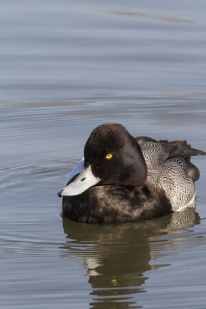 sunning: A Greater Scaup drake (Aythya marila) sunning himself as he floats in White Rock Lake in Dallas, Texas Stock Photo