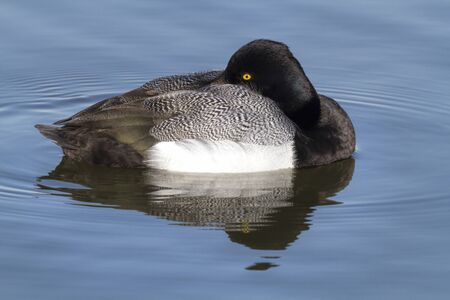 scaup: A Greater Scaup drake (Aythya marila) sunning himself as he floats in White Rock Lake in Dallas, Texas Stock Photo