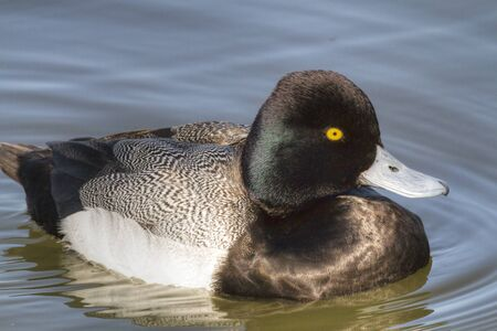scaup: A close up image of a Greater Scaup drake (Aythya marila) sunning himself as he floats in White Rock Lake in Dallas, Texas Stock Photo