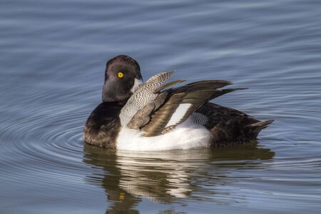 scaup: A Greater Scaup drake (Aythya marila) preening and sunning himself as he floats in White Rock Lake in Dallas, Texas