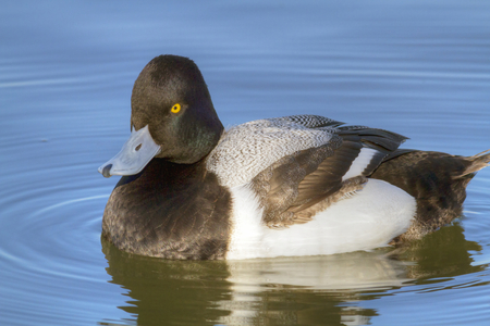 scaup: A male Greater Scaup (Aythya marila)  floating in the sunlight at Whiterock Lake in Dallas, Texas. Stock Photo