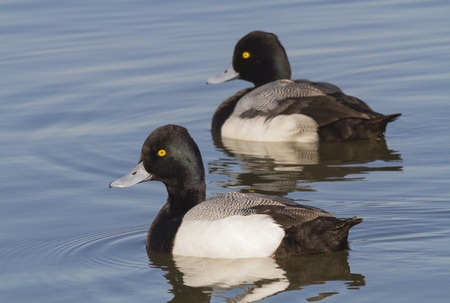 scaup: Two male Greater Scaups (Aythya marila) swimming in the warm sunlight at White Rock Lake in Dallas, Texas Stock Photo