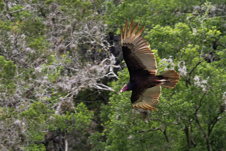turkey vulture: A large Turkey Vulture Cathartes aura looking for carrion while inflight.