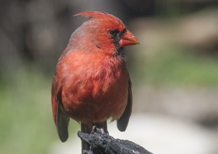 redbird: A male Northern Cardinal  Cardinalis cardinalis sunlit by the morning sun.