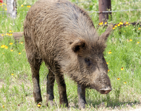 david brown: A feral pig (fera Sus scrofa) walking among the wildflowers in South Texas.