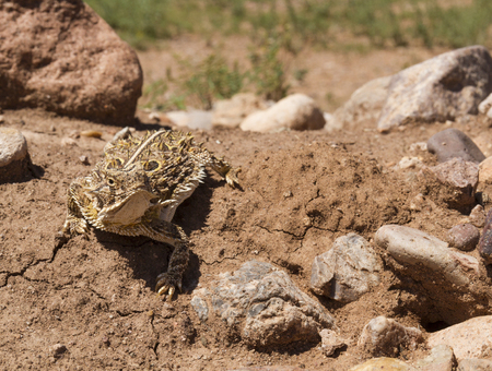 horned frog: A horned Lizard (Phrynosoma cornutum) also known as a Horned Frog, Horned Toad, or Horny Toad, sunning itself in the sunlight.