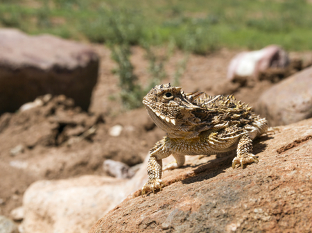 A horned Lizard (Phrynosoma cornutum) also known as a Horned Frog, Horned Toad, or Horny Toad, sunning itself.