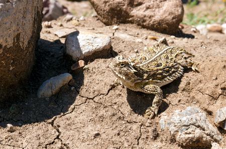 「角のある蛙」、「ツノガエル」または「角質のヒキガエル」、日光浴自体としても知られている角トカゲ (Phrynosoma cornutum)。 写真素材