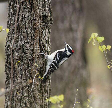 downy woodpecker: A small Downy Woodpecker (Picoides pubescens) looking for something to eat on the trunck of a tree
