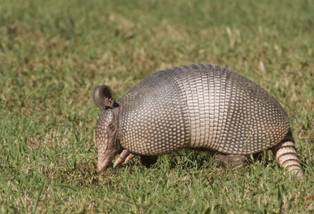 A hungry 9-Banded Armadillo (Dasypus novemcinctus) digging for food in a state park.