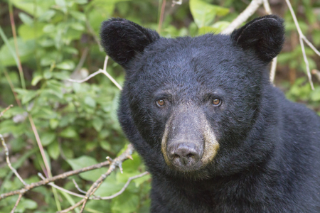 Ein Porträt, welches die ausdrucksvollen Augen eines großen schwarzen Bären (Ursus americanus) in den mountians zeigt Standard-Bild - 69859949