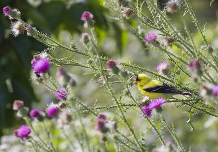 finch: An American Gold Finch (Spinus tristis) resting in a thistle bush full of thorns.